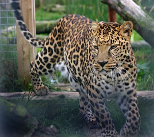 动物园中的豹子,曾经被一位印度王子饲养,因表现出咬人的倾向,被送给动物园。(图片来源:Animalarium Borth Zoo)