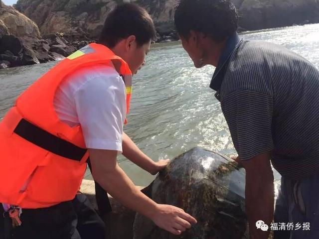 福州渔民捕鱼发现巨龟 重达70余斤