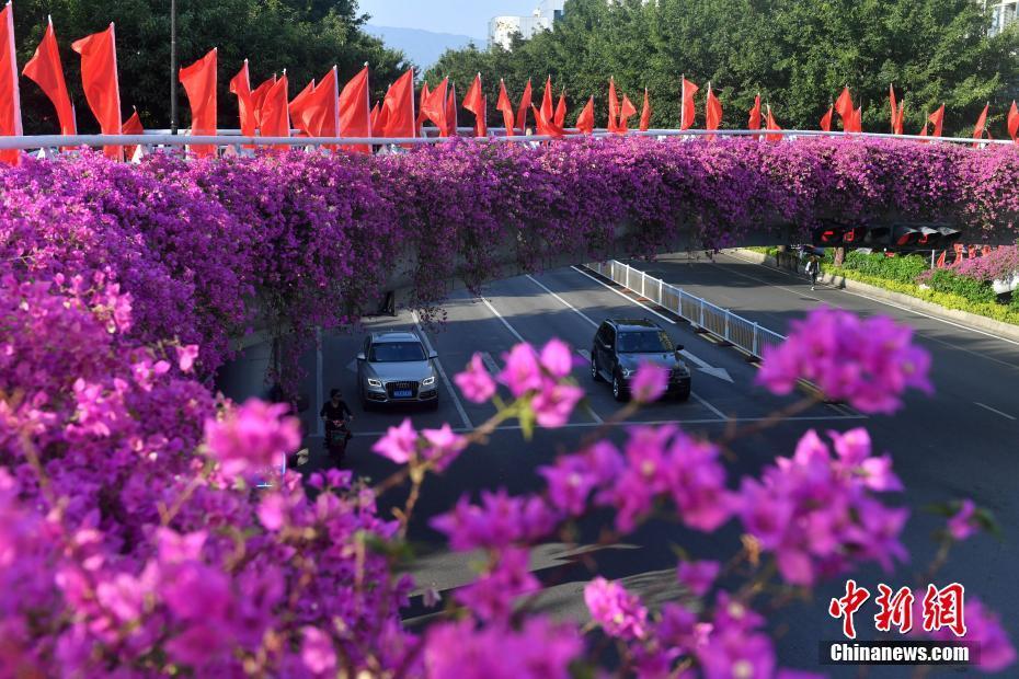 福州紫红三角梅同开 美不胜收