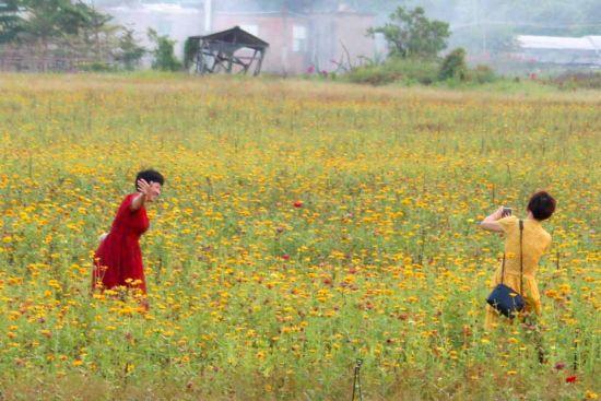 漳州利用水仙花夏眠时期打造七彩花田。白志强 摄