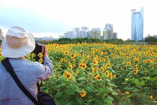 漳州中心城区的人民广场花海。白志强 摄