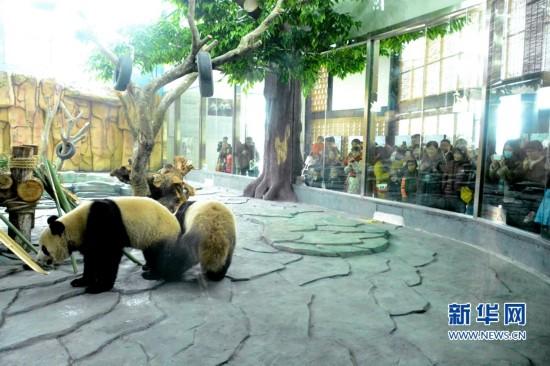 泉州海丝野生动物世界熊猫家园聚满了前来看大熊猫的市民.(林楷煜摄)