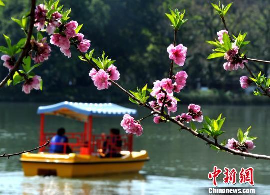 福州西湖公园桃花盛开醉游人
