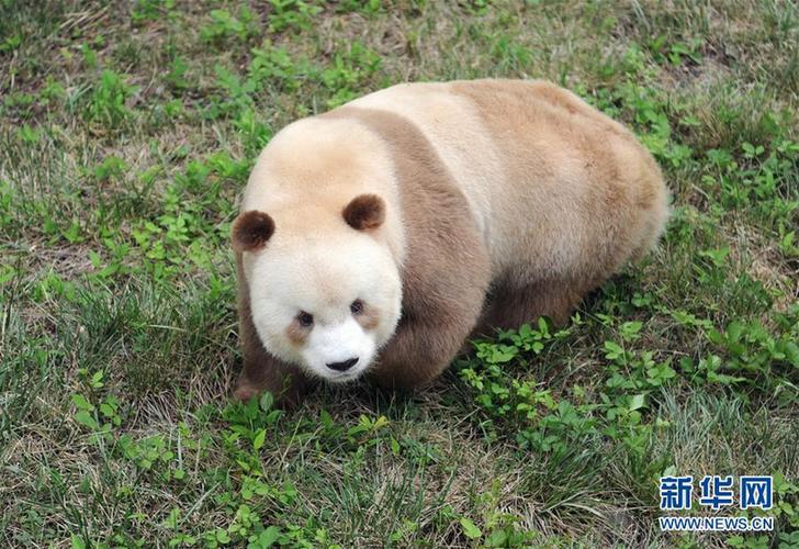 """(XHDW·图文互动)(4)秦岭棕色大熊猫:""""弃仔""""到""""七仔"""" 命运大不同"""