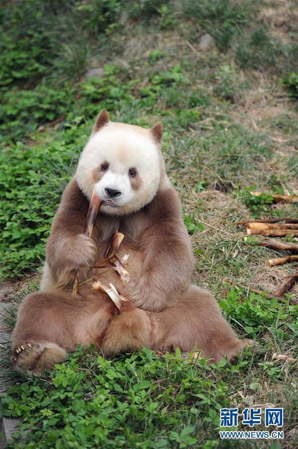 """(XHDW·图文互动)(2)秦岭棕色大熊猫:""""弃仔""""到""""七仔"""" 命运大不同"""