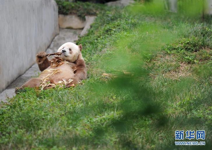 """(XHDW·图文互动)(5)秦岭棕色大熊猫:""""弃仔""""到""""七仔"""" 命运大不同"""