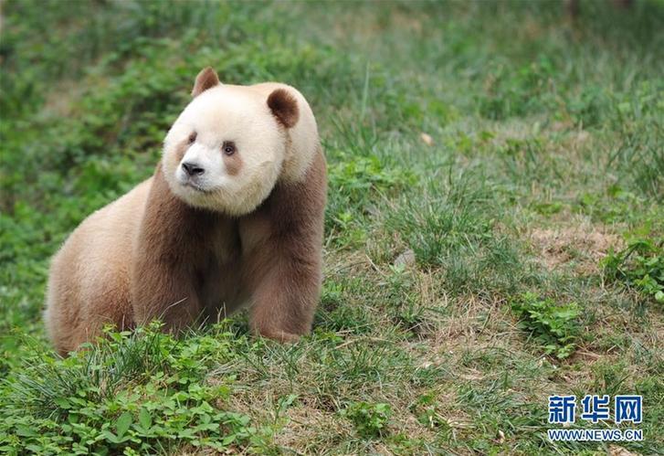 """(XHDW·图文互动)(3)秦岭棕色大熊猫:""""弃仔""""到""""七仔"""" 命运大不同"""