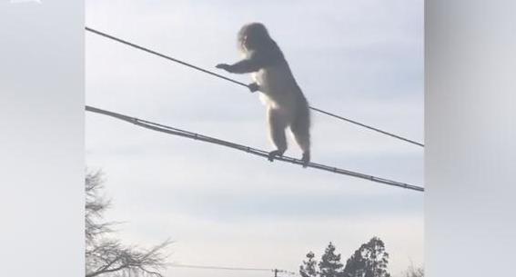 日本猕猴集体走电线