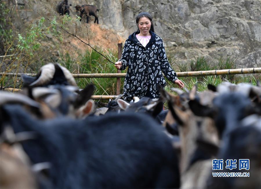 """(脱贫攻坚·图片故事)(2)昔日贫困户 今日女""""羊倌"""""""