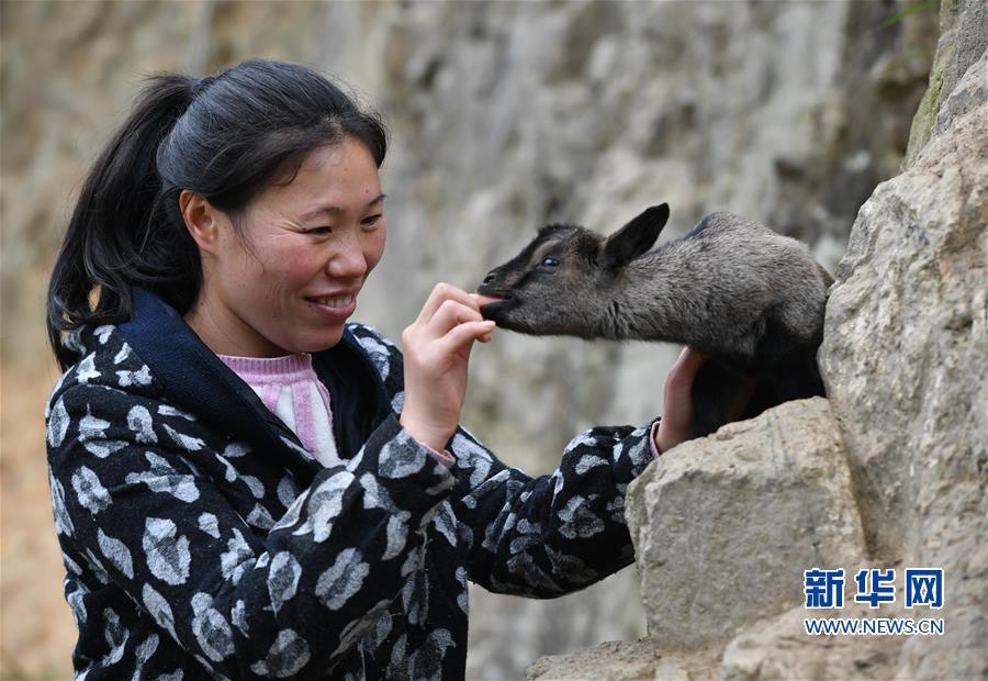 """(脱贫攻坚·图片故事)(7)昔日贫困户 今日女""""羊倌"""""""