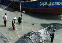 平潭渔民捕获5米鲸鲨