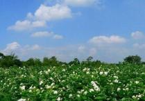 帝封江茉莉公园将现百亩花田