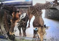 66只长颈鹿在平潭