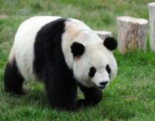 印尼民众期盼熊猫馆开馆