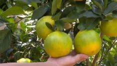 试种百种稀奇水果 荒山变百果园
