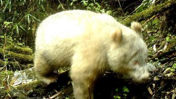 全球首例!卧龙国家级自然保护区现白色大熊猫