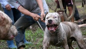 越南众人教唆猎犬撕咬野猪视频残忍引众怒