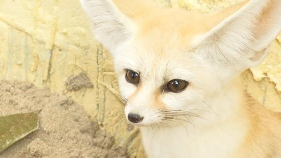 耳廓狐(近景)