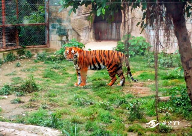 华南虎昆昆在福州动物园虎舍内