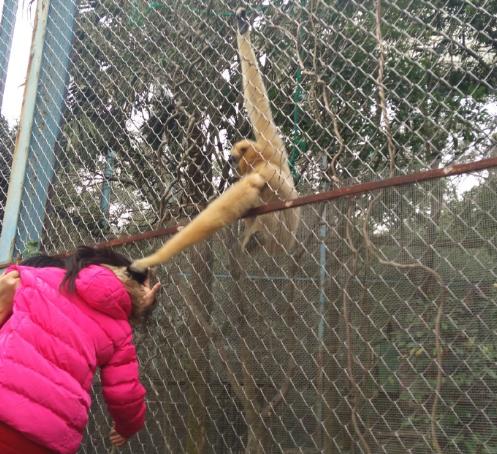 福州动物园一女孩攀围栏喂食 被长臂猿拽发