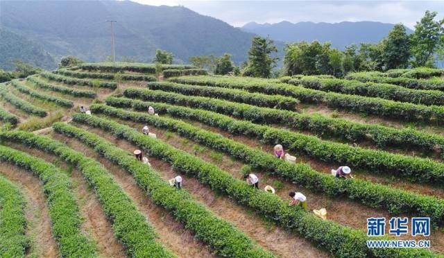 10月7日,在福建省泉州市安溪县虎邱镇茶园,茶农在采收秋茶.