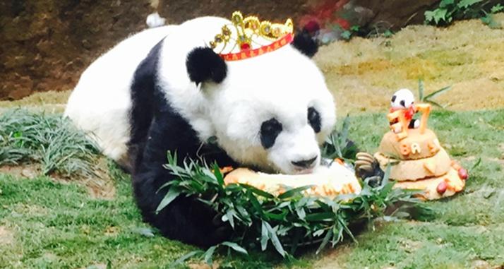 """世界最长寿大熊猫 """"巴斯"""" 福州喜迎37岁庆典"""