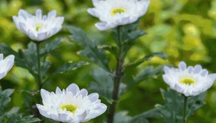福州西湖菊花展正在筹备 上万盆菊花将亮相