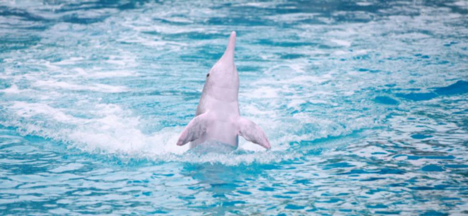 中华白海豚——我和TA的故事