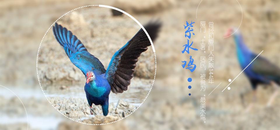 紫水鸡——TA是谁