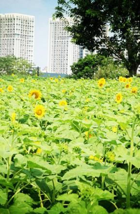 福州最大向日葵花海如期绽放