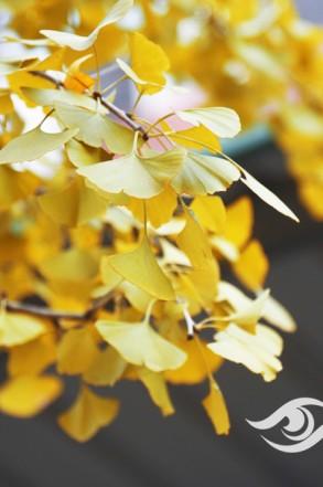 福州成功入冬,银杏终于黄了!