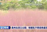 泉州北滨江公园:粉黛乱子草迎来盛花期