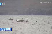 澳108头搁浅鲸获救 工作重点转为清理尸体