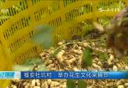 福安杜坑村:举办花生文化采摘节