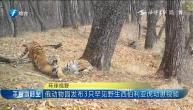 俄动物园发布3只罕见野生西伯利亚虎幼崽视频